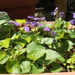 タチツボスミレ 今年はここに群生しました。植えたのではなく自分で種を飛ばしたのです。