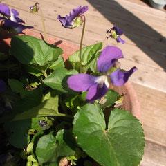 タチツボスミレ 何処にでもある一般的なすみれです。あちこちに種を飛ばして咲きます。