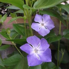 ホタルカズラ 我が家もやっと咲き始めました。毎年切っても切っても咲きます。健気です。