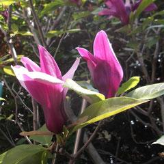 紫木蓮 紫が強いですが、花弁の内側だけが白いので広がるととても明るくなります。