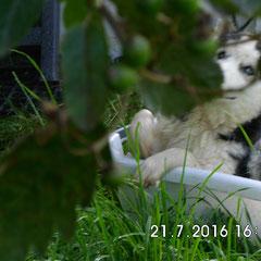 Huskymädchen geb. 16.12.2015