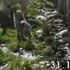 Dreibeinspitz vom Elbauenland geb. 01.09.2012 Kauf 29.10.2012 Foto 31.10.2012