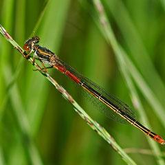 Weibchen Forma typica