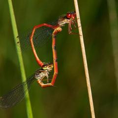 Paarungsrad mit Weibchen Forma intermedium