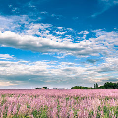 magnificent field of clary sage with a view of the holy victory in aix en provence purple and blue color