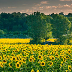 sunflower fields in yellow and green colors