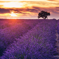 lone tree in a lavender field with purple red and orange colors during a sunset