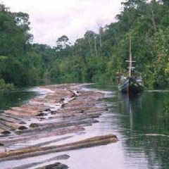 2000年 インドネシア・タンジュンプテイン国立公園での違法伐採