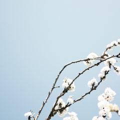 172 Apfelblüten