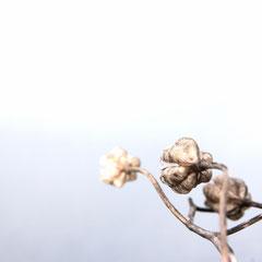 19 Samenkapseln der Schachblume