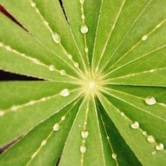 168 Lubpinenblatt