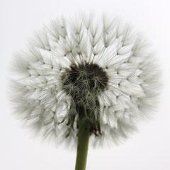 27 Löwenzahn, Butterblume, Kuhblume, Märzenbusch, Milchblume, Lichtli, Pusteblume, Röhrlichtcrut, Schmalzblümlein