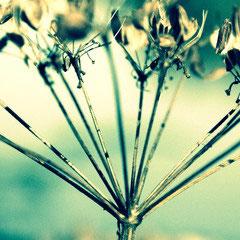 55 Wald Engelwurz Doldenblütler