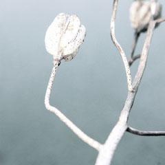 17 Samenkapseln der Schachblume