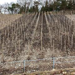 Ansicht auf das Biokohlesubstrat im Weinberg