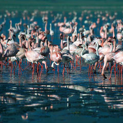 Flamingos im Arusha NP