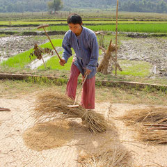 Laos, Luang Prabang: threshing rice at The Living Land community farm project