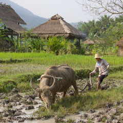 Laos, Luang Prabang: Plowing a rice paddy with a water-buffalo at The Living Land