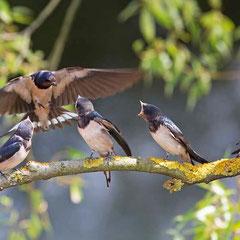 Fütterung junger Rauchschwalben - Foto: Carsten Busse