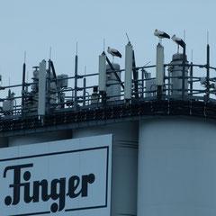 01.09.13: Drei Weißstörche abends auf der Firma Finger - Foto: Björn Behrendt