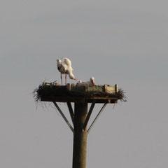 Weißstorchpaar im Fronhäuser Ried - Foto: Alfred Müller