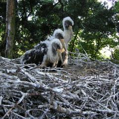 Drei Jungvögel im Nest in Polen - Foto: Krzysztof Dudzik