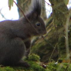 Eichhörnchen - Foto: Friedrich-Karl Menz