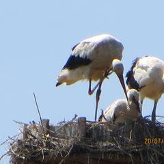 20.07.13: Junge Weißstörche im Nest mit einem Altstorch - Foto: Friedrich-Karl Menz