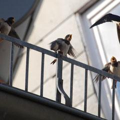 10.07.13: Fütterung junger Rauchschwalben in Bellnhausen - Foto: Jens Hemer