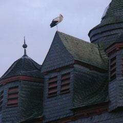 16.02.14: Weißstorch an seinem Schlafplatz auf der Fronhäuser Kirche - Foto: Stefan Wagner