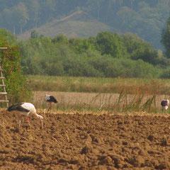 22.08.13: Unsere Weißstörche auf Nahrungssuche nahe dem Schenkenwald - Foto: Daniela Schwarzer