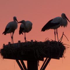 01.09.13: Weißstorchfamilie zum Nächtigen im Nest - Foto: Björn Behrendt
