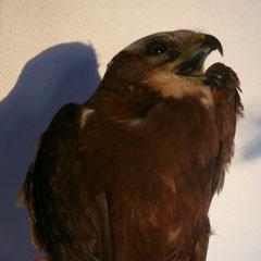 Rohrweihenweibchen in der Gießener Vogelklinik