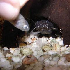 Batrochoglanis raninus: Und nimmt den Fischhappen schließlich direkt aus meiner Hand.
