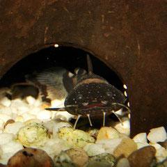 Frosch-Fettwels (Batrochoglanis raninus)