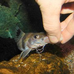Pimelodus ornatus lässt sich Fischstücke von Hand reichen.