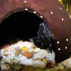 Batrochoglanis raninus blickt vorsichtig aus seinem Versteck.