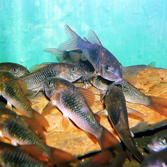 Metallpanzerwelse (Corydoras aeneus)