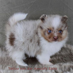 Farbe: Red Merle with white, Name: Tattoo von der Arnold's Eiche