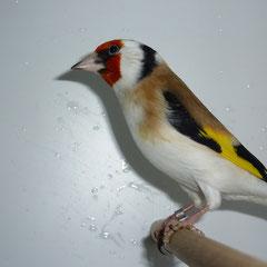 1,0 Wildfarbig Spalt Weißkopf-Eumo