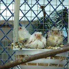 Jungvögel aus 1,0 Satinet spalt Weißk. 0,1 Weißk.natur