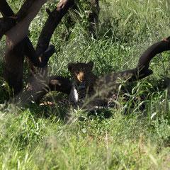 Leoparden haben wir im freien leider keine gesehen