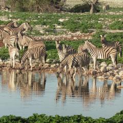 und morgens dann eine Herde Zebras