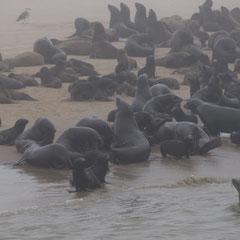 Robbenkolonie - Robben so weit das Auge reicht
