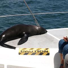 eine zutrauliche Robbe kommt zu uns aufs Schiff