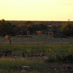 Zebras in der Herde ....