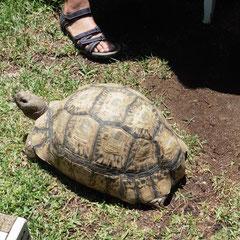 die erste grosse Schildkröte - im Garten eines Restaurants