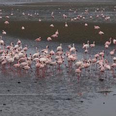 Flamingo Kolonie