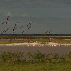Flamingo's im Wasser und in der Luft