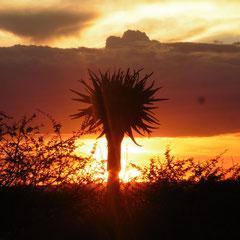 und Köcherbaum bei Sonnenuntergang